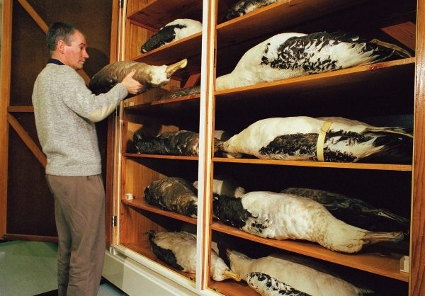 Broun's whole collection was housed in the drawers of a writing desk, curator of land vertebrates Brian Gill's albatrosses are not so easily accommodated.