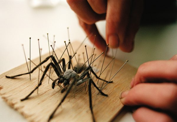 Pins ensure things stay as intended while tricky specimens, such as an Avondale spider harden up again.