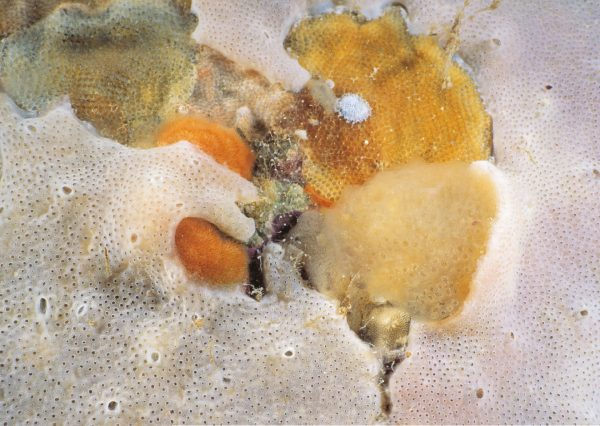 Freeze-framed in biological warfare, bryozoans, sponges and colonial sea squirts (ascidians) compete for living space on a rock. Toxic chemicals, overgrowth and straight-out shoving are all stratagems used in this slow-motion battle.