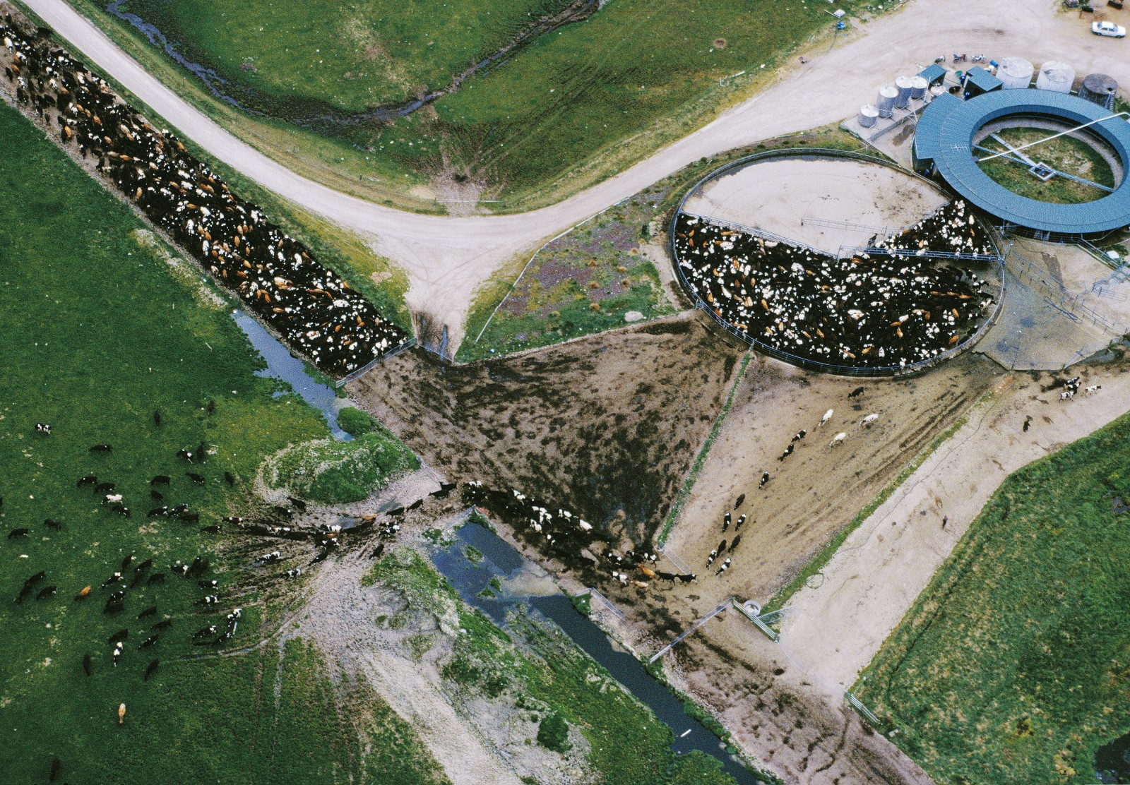 Two large herds, each of about 650 cows, are milked twice a day through this rotary shed east of Taupo. Big black-and-white Friesians—Holstein-Friesians, to give them their full name—make up most of the herd, with smaller brown Jerseys a minority. Nationally, Friesian is the leading breed, with Jersey a strong second. Brown Swiss—a major breed internationally—is almost unknown here.