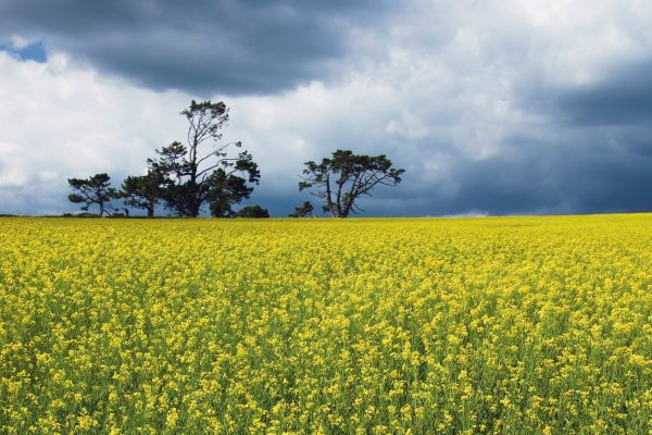 Rapeseed is one of the preferred oil stocks for biodiesel crops, producing more oil per unit of land area than other oil sources, such as soy.