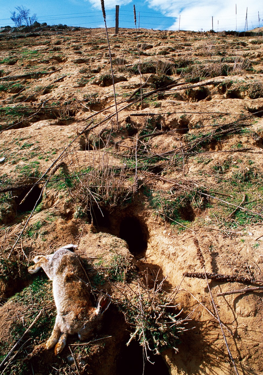 Unaware its rabbit bait was spiked, the Otago Regional Council unwittingly blanketed 1000 hectares of land with calicivirus. Many regard the virus as a godsend and those involved in spreading it remain unrepentant.