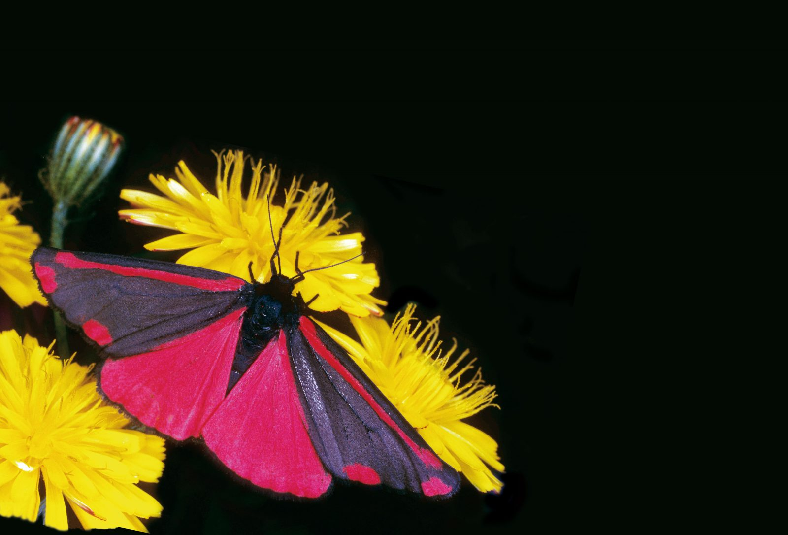 "New Zealand's economy is at the mercy of moths—as pollinators, and as agents of destruction. The flashy red Cinnabar moth, Tyria jacobaeae, was imported by the Cawthron Institute in 1929 to combat ragwort, an invasive weed that can poison livestock. Cinnabar moths munch through the flowers, limiting seed production and completely defoliating plants if larvae numbers are high. With the help of breeding programmes in the 1980s, this moth is now established nationwide. While the Cinnabar moth might be a farmer's friend, the native porina moth devastates pasture, and the common forest looper, Pseudocoremia suavis, also a native, moved from its natural host, the beech tree, to defoliate plantations of pine and Douglas fir. The guava moth caterpillar bores into fruit—citrus, feijoa, guava and macadamia. The light brown apple moth's leafroller caterpillar rolls and binds leaves with silk on 265 plant species, causing hundreds of millions of dollars in damage to foliage and fruit in orchards and plantations. And Aucklanders will recall with consternation the aerial spraying campaign of 2006 to rid the western suburbs of painted apple moth that happily defoliated 92 plant species. For decades, scientists have engaged in a battle of wits with such invasive species. One way to beat them, it has been found, is to employ the moths' own carnal urges. While unimaginable gluttony is the prerogative of the caterpillar phase, for a winged adult moth, foremost on the agenda is sex. Male moths are easy to seduce: in order to breed, the females release a pheromone plume, an assortment of acetates and aldehydes that advertise her location. The molecules alight on the male's feathery antennae and nerve impulses spark the ganglions in the brain. The ratio of chemicals is specific to the species, a factor biological control scientists have turned to their advantage in controlling native and exotic pest species such as leafrollers and codling moths. Since the 1800s, orchardists have been able to disperse synthetic hormones as ""lure and kill"" systems, or simply saturate the air, creating a pheromone noise termed 'mating disruption' so that the male moths can't possibly locate the females. These techniques, along with introduced parasitoids, sterile insect release and selective insecticides are all part of a new bag of chemical tricks with which scientists can protect New Zealand's environment and economy from the ravages of introduced predators."