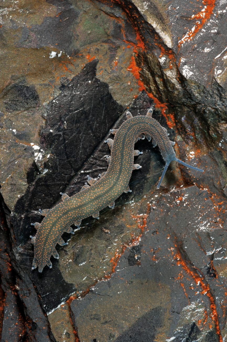 Fossil meets fossil: a Peripatus, or velvet worm—a 'living fossil' which first appeared in the archaeological record 500 million years ago—walks across a slab of Denniston mudstone packed with fossilised leaves from the forests which grew on the plateau during the Eocene epoch, 40 million years ago.
