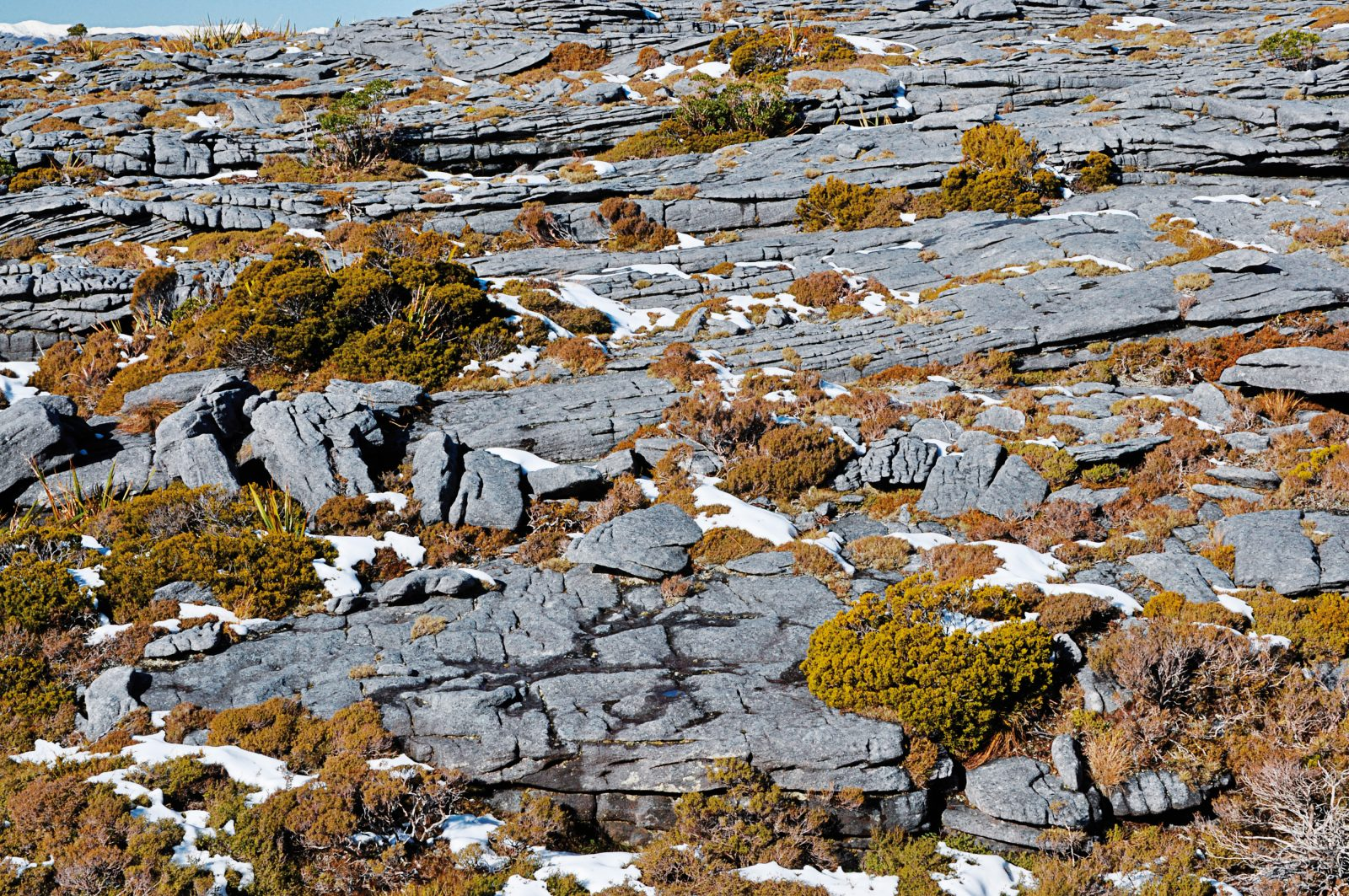 Millions of years of weathering have scoured soft sediments from the Denniston Plateau, leaving bare sandstone pavements and scant pockets of soil where vegetation can gain a foothold. Winter snow adds to the rigours of wind and rain that plants and animals endure in this challenging environment.