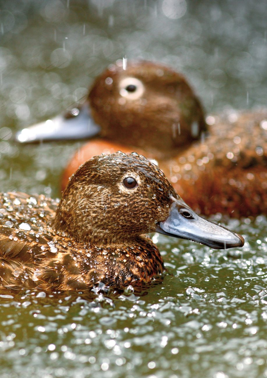 One of the distinguishing features of pateke is the light-coloured ring around their eye. Bills are adapted for dabbling, featuring a rake-like filter along the sides that supports effective foraging in water. Although both sexes look similar most of the year, in breeding season males develop an iridescent green head.
