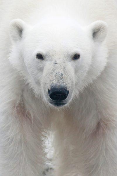 Pro012_Polar-Bear,-Svalbard