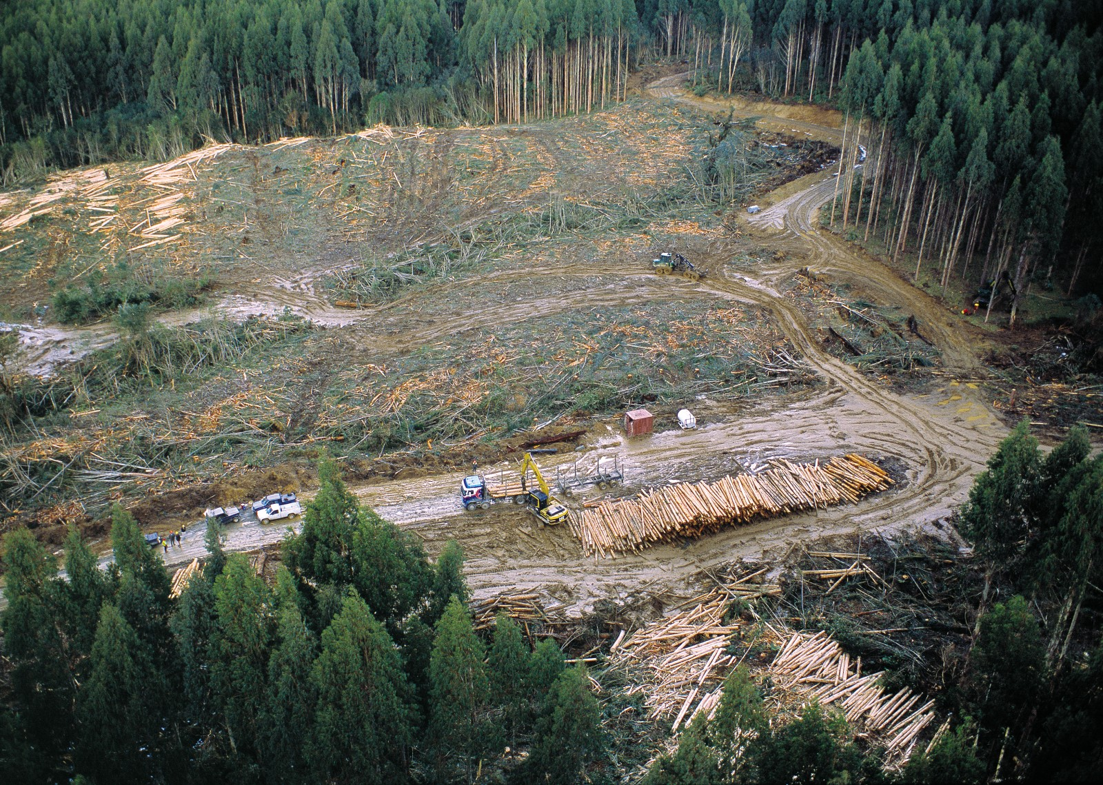 At Happy Valley, in western Southland, 22-year-old alpine ash (E. delegatensis) is mechanically harvested for chipping. The harvester grabs a tree, severs it, rotates it parallel to the ground, then grinds its way along the trunk, removing bark and small branches before cutting it into lengths.
