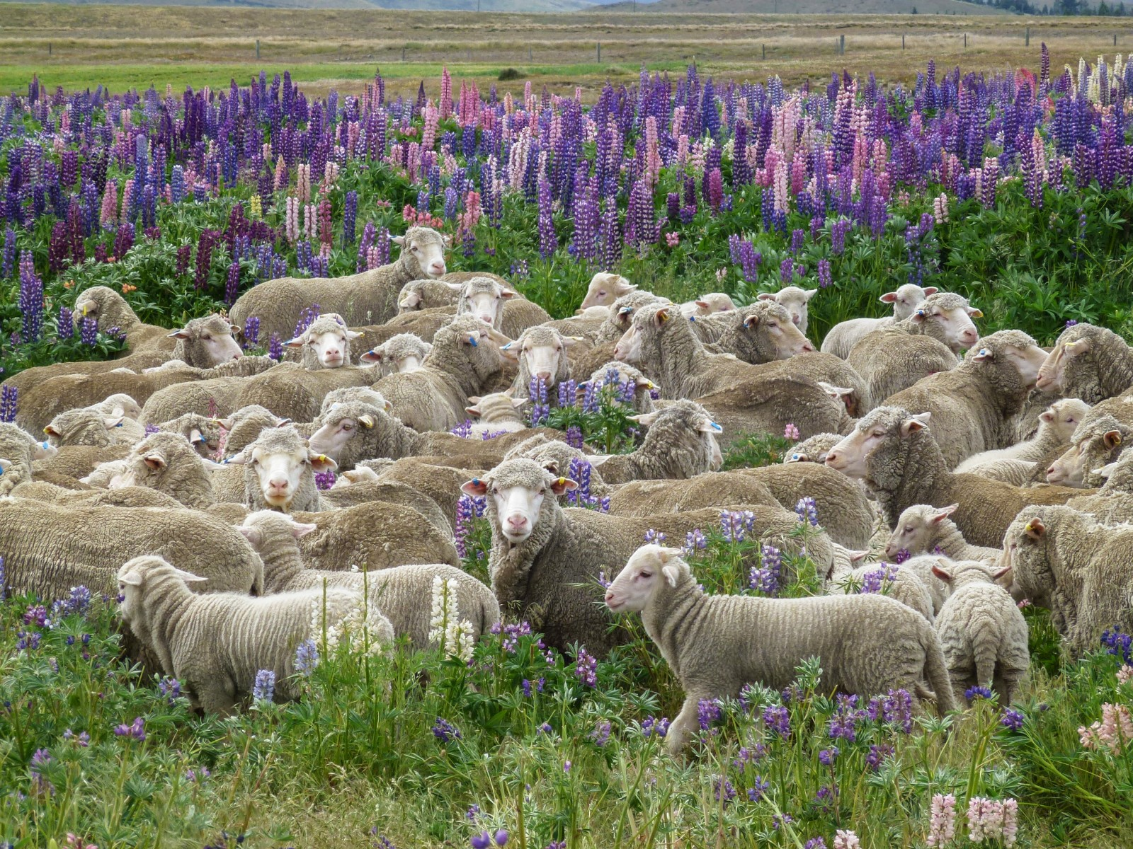 Merino sheep graze in a field of Russell lupins at Sawdon Station, near Tekapo. Lincoln University's Derrick Moot sees the crop as a saviour for high-country farmers. Able to survive lean soils and extreme heat and cold, the nitrogen-fixing lupin provides forage and even a little shelter for lambs, pictures here at nearby Glenmore Station.