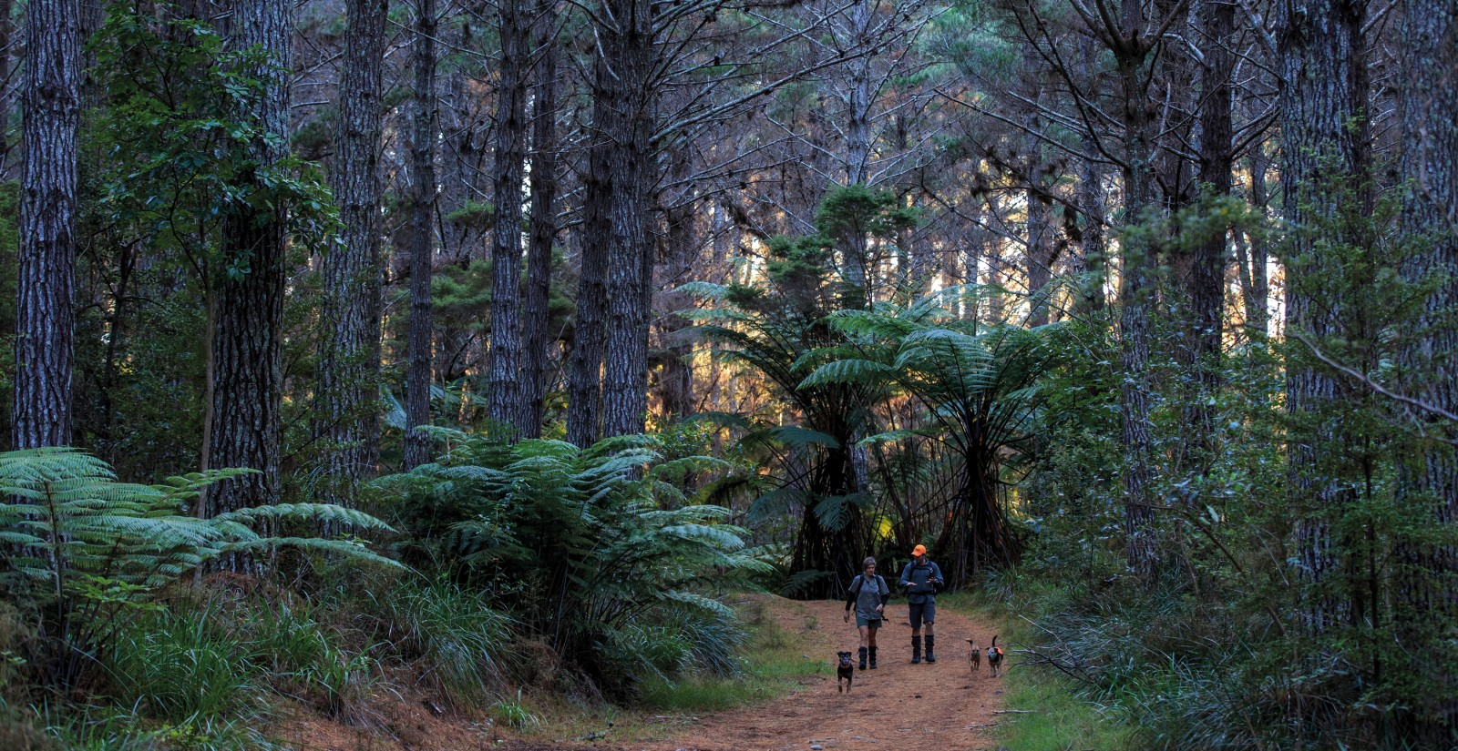 One-third of Great Mercury Island is cloaked in a canopy of a pine forest, planted in the early 1980s. Beneath blooms an understorey of native trees and shrubs. The 2014 pest eradication on the island was the first to be conducted in such a modified forest context, providing both hope and baseline data to guide programmes in similar environs on the mainland. It is backed up with a comprehensive programme of monitoring (DOC's Conservation Dog team logged 800 kilometres surveying the island), and a network of traps and ink track-pads that wait in constant vigilance.