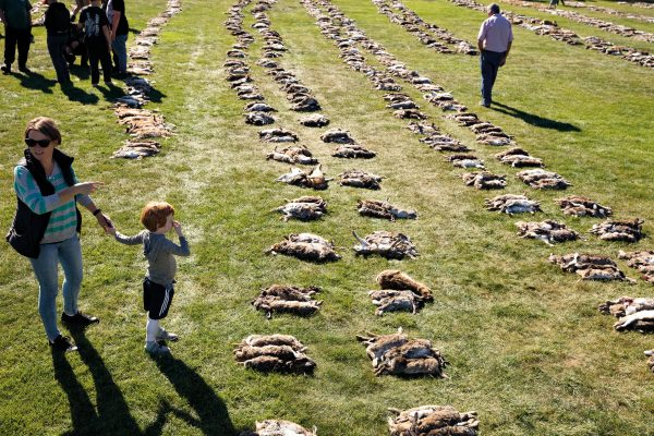 Rabbits are laid in groups of five for counting: each pair of parallel lines belongs to one team. A total of 10,010 rabbits and hares were dispatched by 324 shooters. On a sunny March afternoon, four-year-old Tait Payne did not find them particularly fragrant. Hunt organisers, the Alexandra Lions Club, donated profits to the Friends of Dunstan Hospital; a different charity is nominated every year.