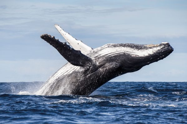 The humpback whales of Raoul Island were more erratic and unpredictable than scientists had observed on breeding grounds or other migratory corridors.