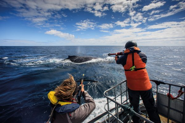 Approaching a whale at speed, scientists attempt to deploy a satellite tag and collect biopsy samples. Transdermal satellite tags (below) penetrate the skin and lodge in the blubber, with a protruding antenna transmitting to satellites when the whale surfaces to breathe.