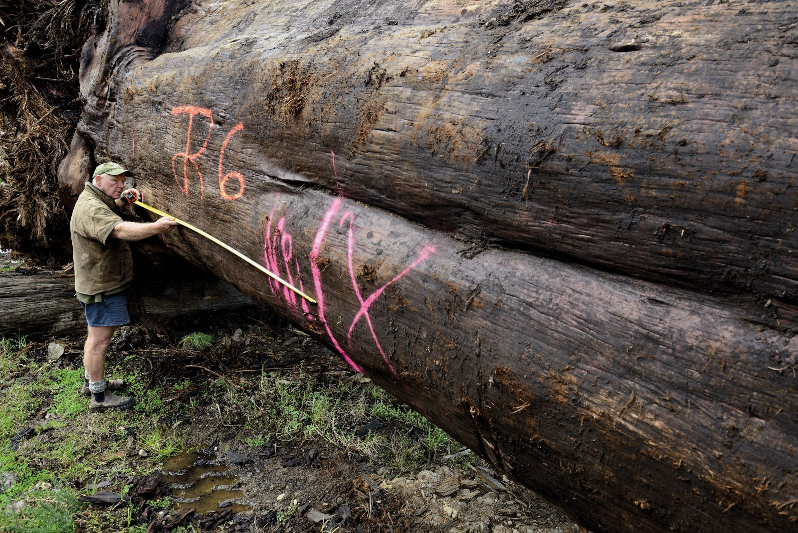 "At his Kaihu timber yard, Nelson Parker demonstrates what the Ministry for Primary Industries (MPI) defines as a 'stump', and can therefore be exported as raw timber. Stumps are allowed to include a short section of trunk sticking up from ground level to a point equivalent to the tree's maximum diameter—marked here by MPI's enforcement officer in pink fluoro spray-paint. Parker says he now rings MPI before starting every dig, and tracks the history of each log, matching photographs to its milling statement. ""It's just about knowing what you can and can't do."""