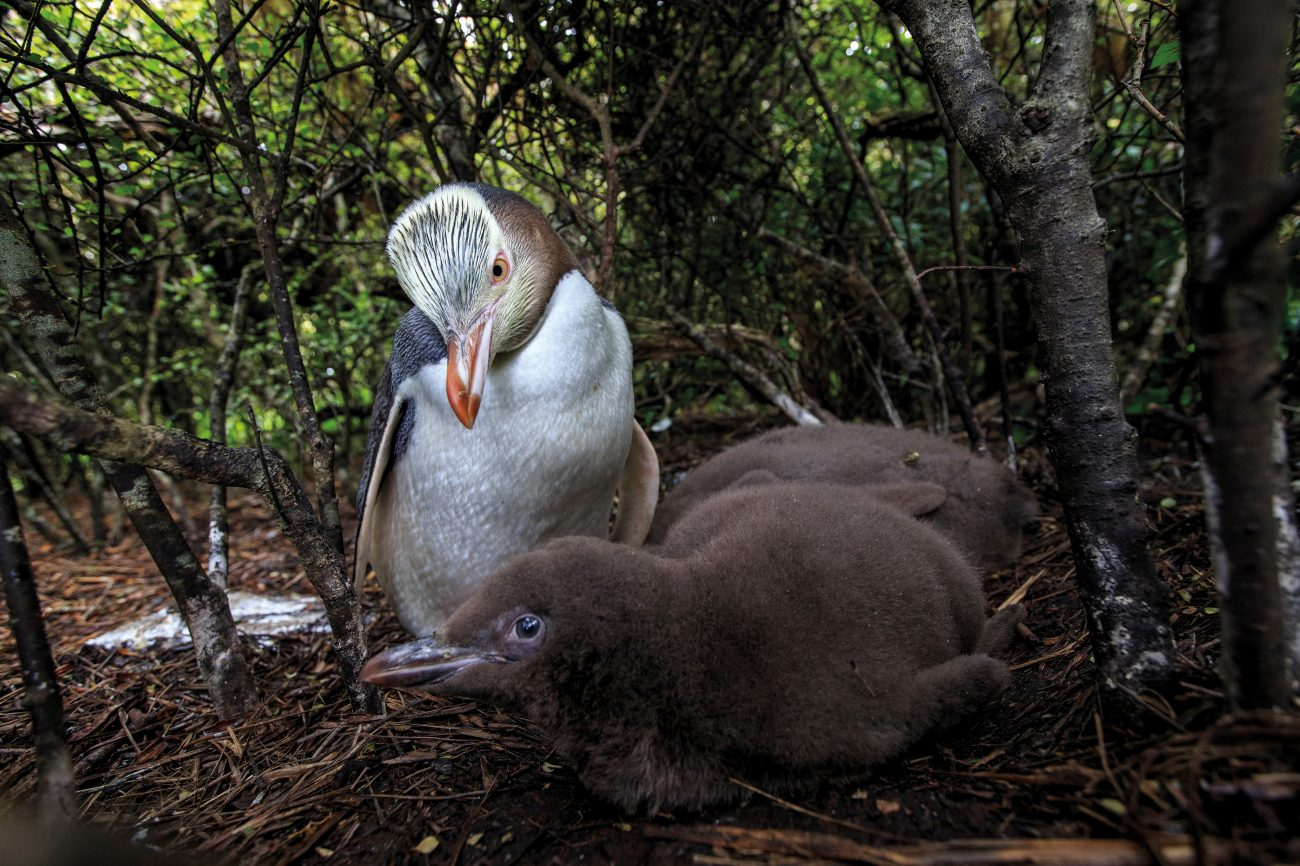 Yellow-eyed penguins, like these on Enderby Island, often nest hundreds of metres from the beach, necessitating long journeys through dense undergrowth. Nesting in private like this may help the birds avoid predatory sea lions. Parents take turns to forage for food, regurgitating squid and fish into their chicks' mouths upon their return to the nest. Once the chicks are big enough to be left alone, both parents start going to sea on a daily basis—a team effort required to meet the infants' escalating demands.