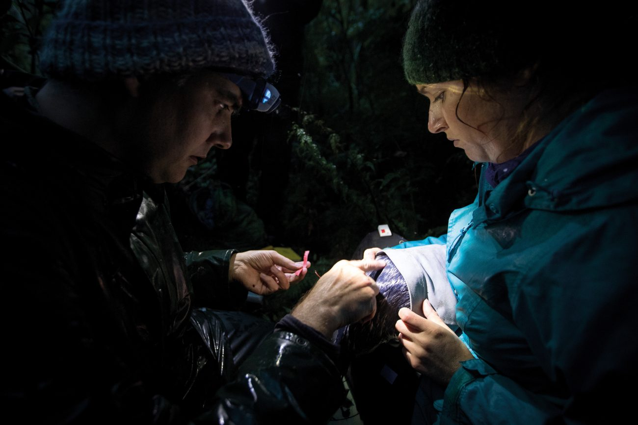 Researchers Thomas Mattern (left) and Robin Long attach a GPS data logger to a tawaki in Milford Sound. By analysing carbon and nitrogen isotopes in blood and feather samples, scientists can gain an understanding of what the birds are feeding on, while the data loggers reveal where in the ocean they are getting their meal. Despite technically being offshore foragers, Milford Sound tawaki are travelling just a few hundred metres from their nests; an indication of the richness of the fjord environment.