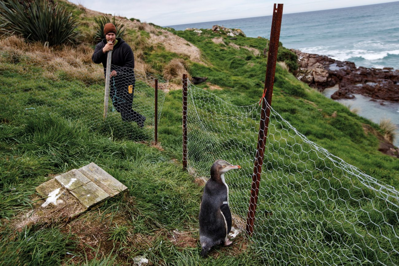 Tour operator Adrian Foote opens a pen to release a juvenile yellow-eyed penguin on the Otago Peninsula. Staff at Penguin Place rescued the bird from malnutrition in their on-site hospital. The recent colonisation of the mainland by these birds speaks of the resilience and adaptability of penguins, but the current decline in breeding numbers on the Otago Peninsula may sound a serious warning. Better understanding the processes affecting our penguins is crucial—they are the best litmus test we have for the health of the ocean that sustains not only them, but us as well.