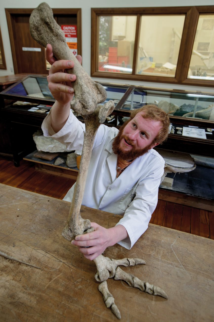 New Zealand's extinct megafauna lives again at the University of Otago. In the Palaeogenetics Laboratory (above), the tooth of a sea lion is prepared for the extraction of DNA, while across the road in the Geology building, Masters student Marcus Richards articulates leg bones of a stout-legged moa (Euryapteryx curtus) he discovered and excavated from Otago farmland. The loss of these big species led to chain-reaction extinctions, with predators and scavengers such as Haast's eagle and the New Zealand raven quickly following them to oblivion.