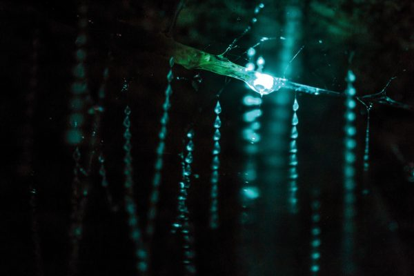 The New Zealand glowworm, Arachnocampa luminosa, is one of five closely-related species in the genus. Explore any damp, forested creek by night, and you're likely to find small colonies of glowworms along its banks. Auckland Domain, Northland's Waipu Caves and Hokitika's Glowworm Dell are home to large numbers of them, and all are undeveloped and free to visit.